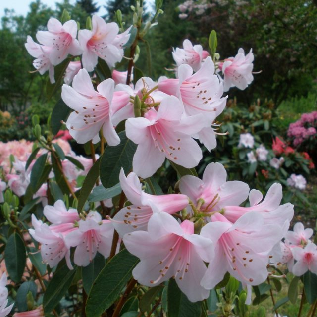 Rhododendron Pink Gin