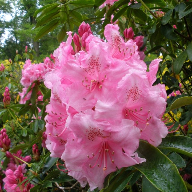 Rhododendron Pink Pearl AGM