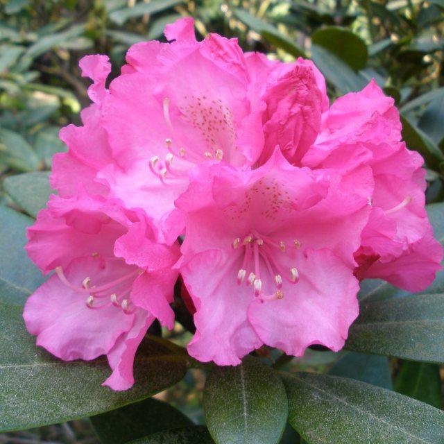 Rhododendron Polaris Standard Buy Rhododendron Polaris Standards