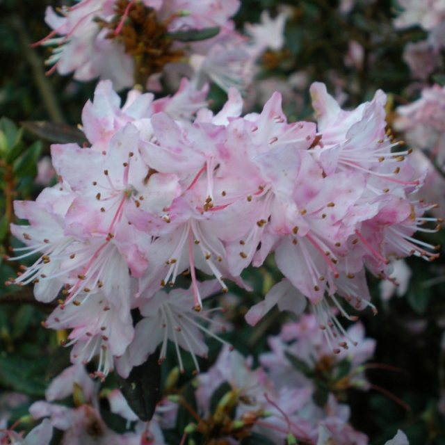 Rhododendron pubescens