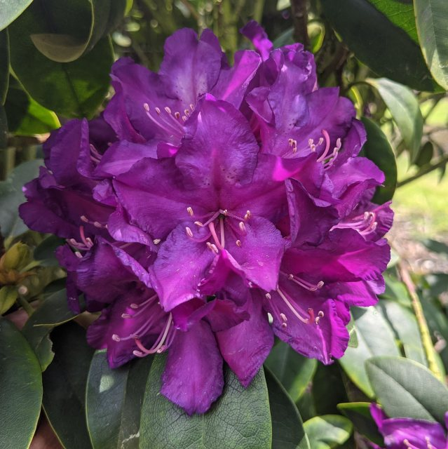 Rhododendron Purple Passion