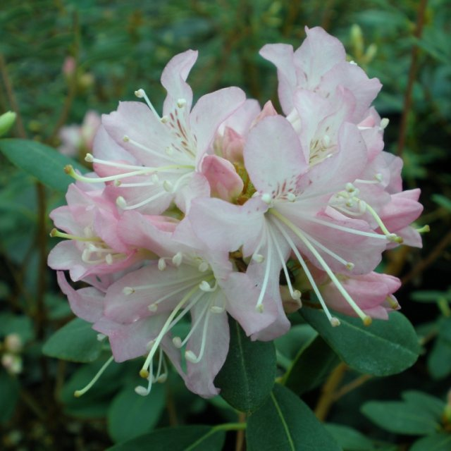 Rhododendron racemosum 'Rock Rose'  AGM