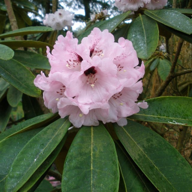 Rhododendron rex  ssp. fictolacteum  AGM