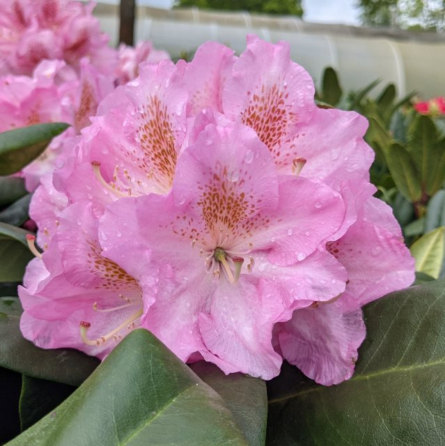Rhododendron Scintillation AGM