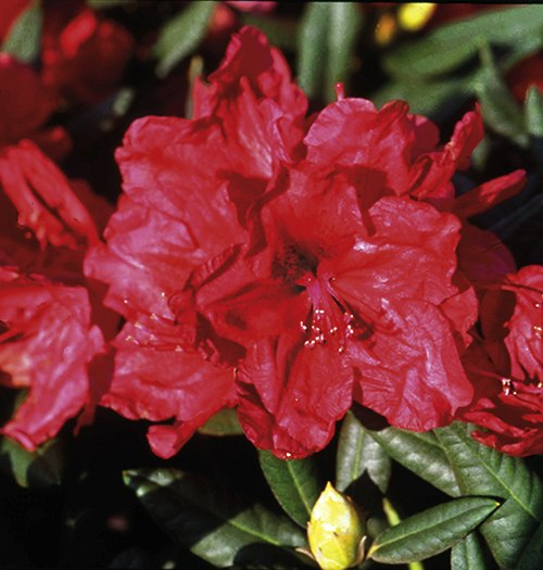 Rhododendron September Red