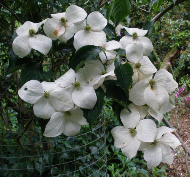 Cornus kousa National