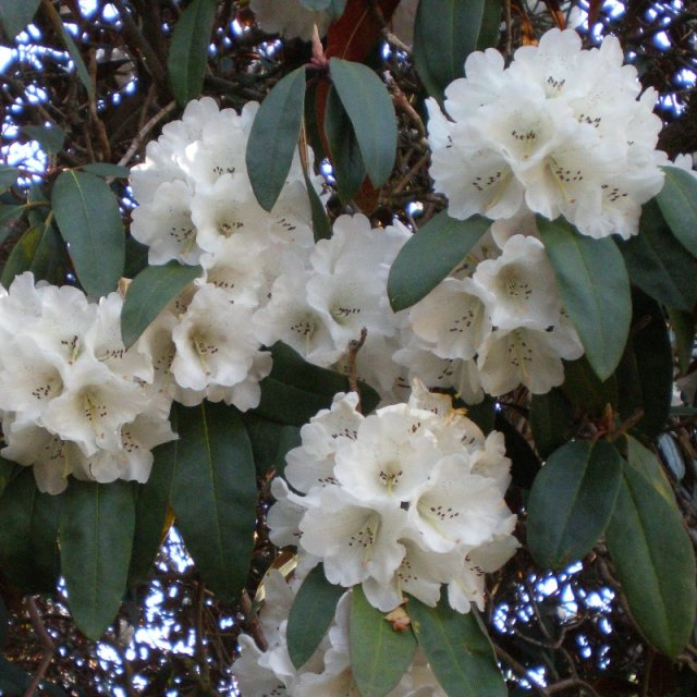 Rhododendron Sir Charles Lemon AGM