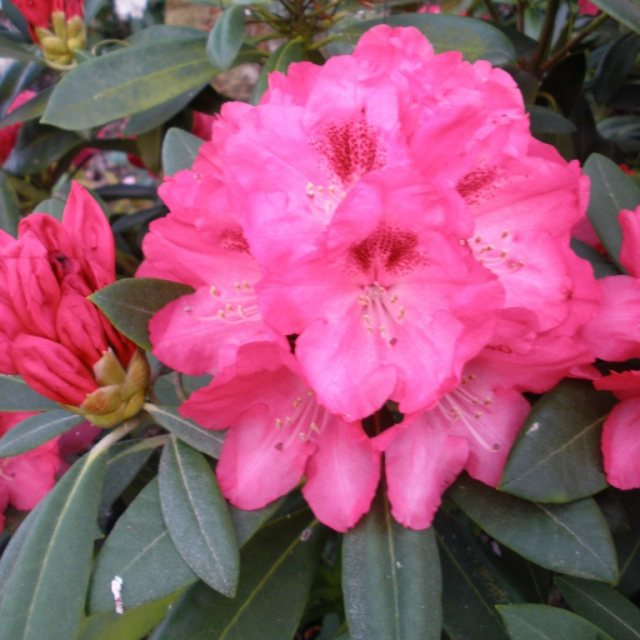 Rhododendron Sneezy AGM