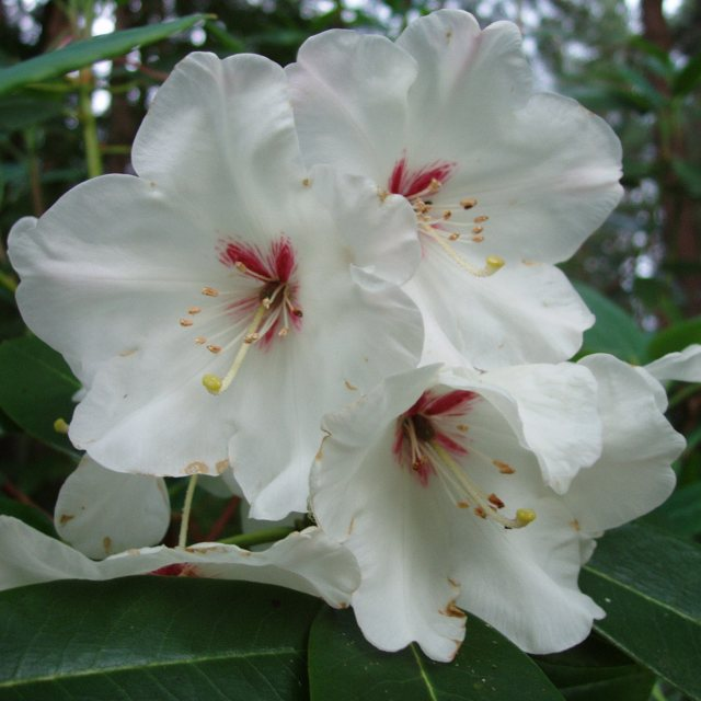Rhododendron souliei