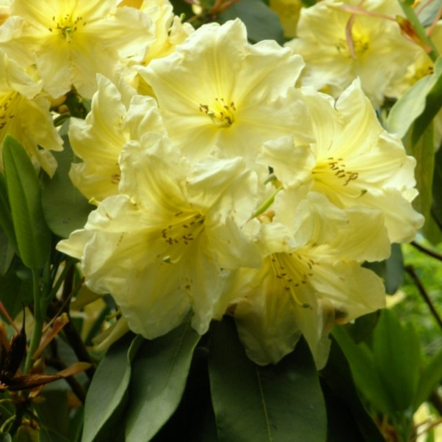Rhododendron Stanway