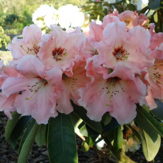 Rhododendron Tequila Sunrise USA