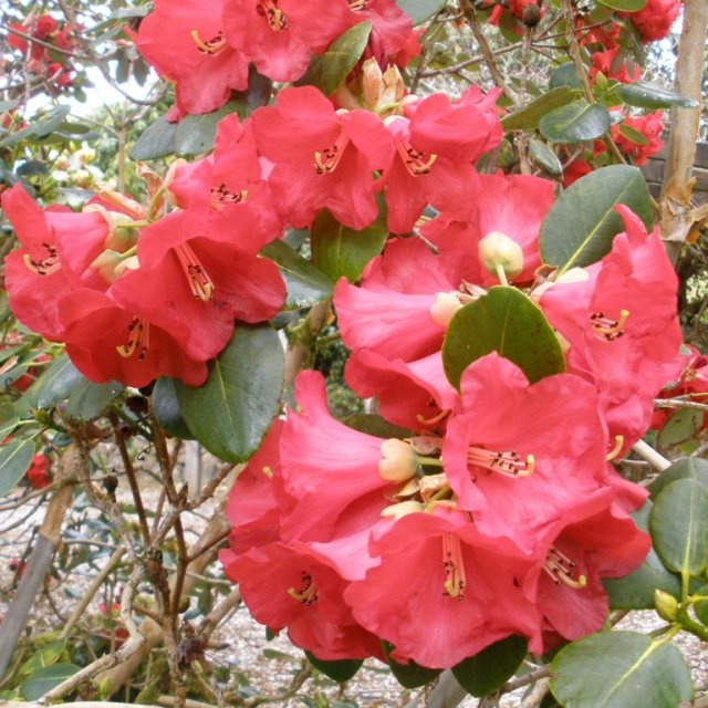 Rhododendron thomsonii