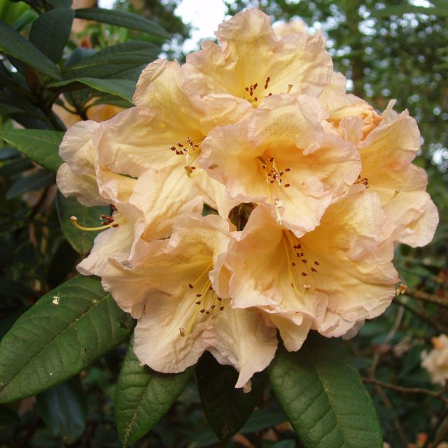 Rhododendron Tortoiseshell Champagne  AGM