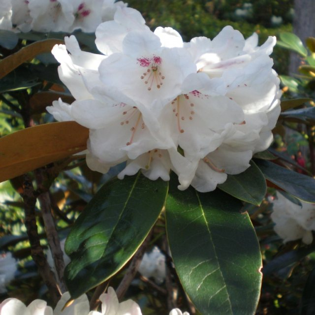 Rhododendron traillianum