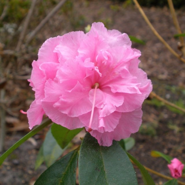 Rhododendron Weston's Pink Diamond
