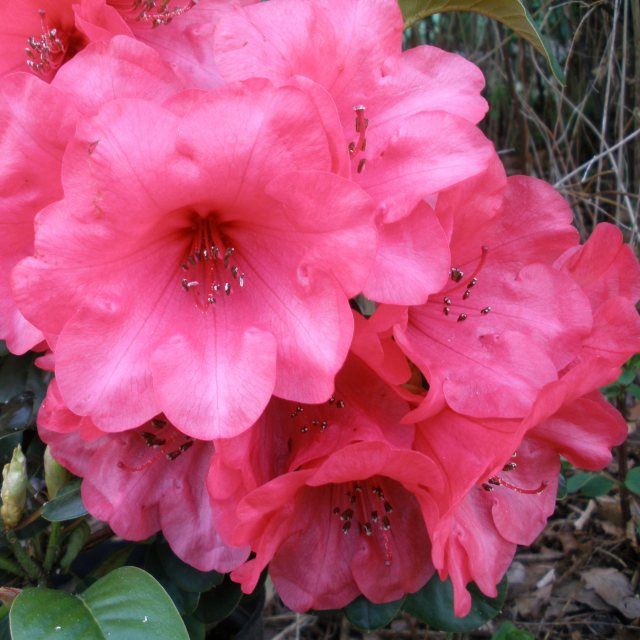 Rhododendron Whispering Rose