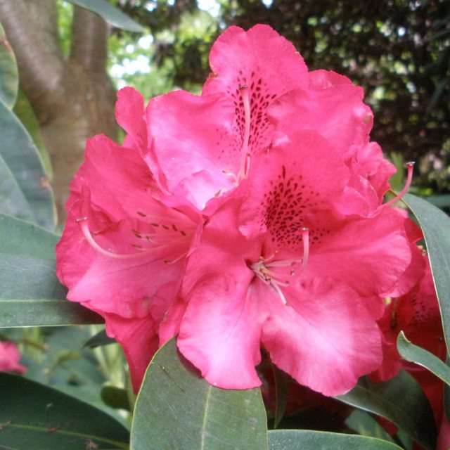 Rhododendron Wilgen's Ruby