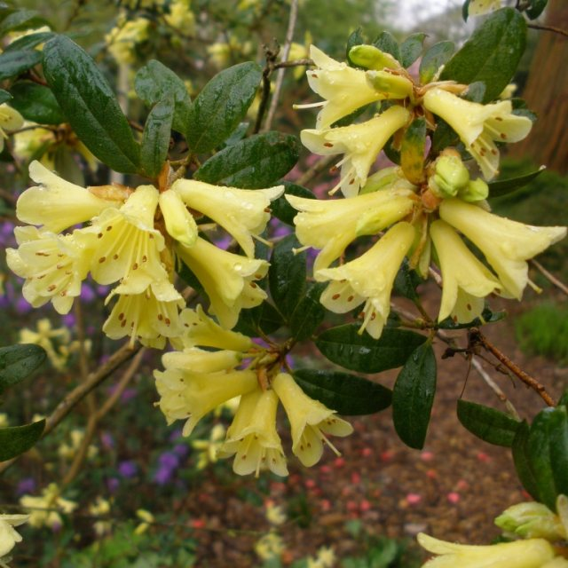 Rhododendron Yellow Hammer  AGM