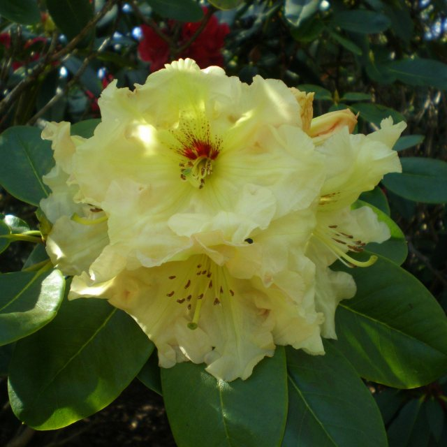 Rhododendron Yellow Rolls Royce