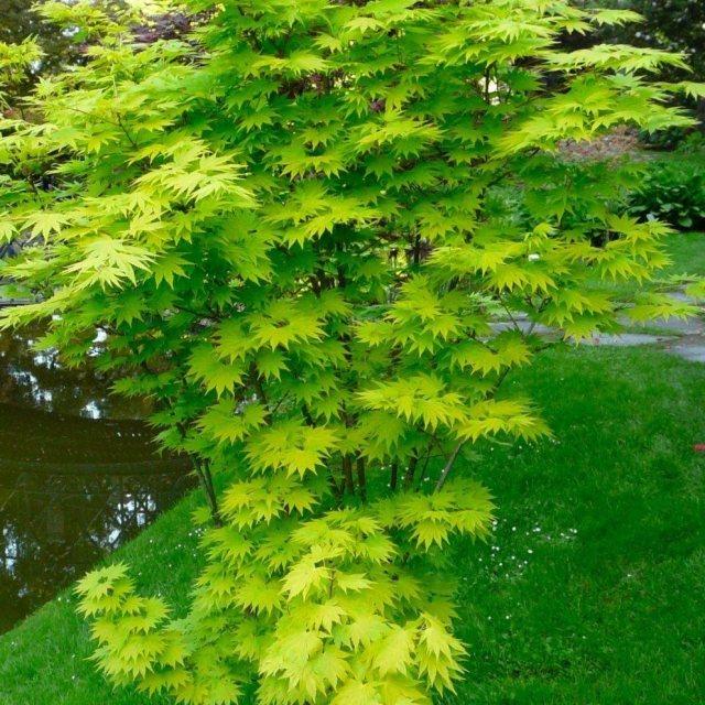 Acer Shirasawanum Jordan Acers Millais Nurseries