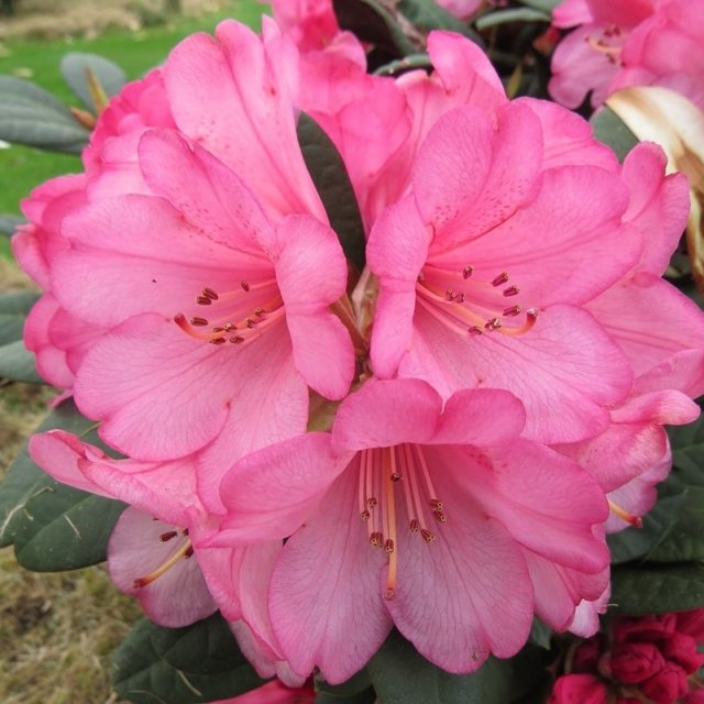 Rhododendron Wine and Roses