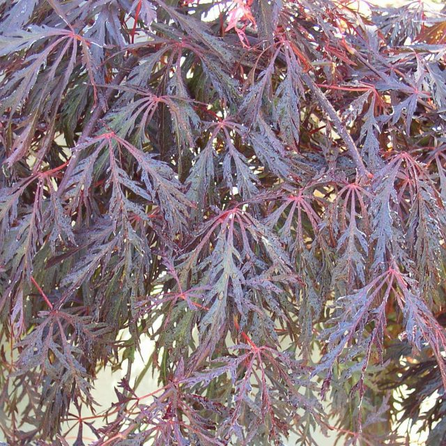 Acer palmatum 'Crimson Princess'