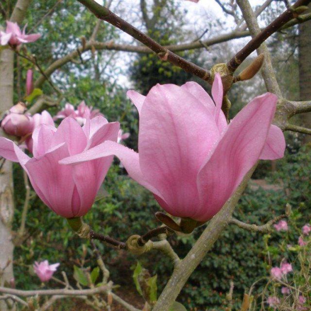 Magnolia Vulcan Magnolias Millais Nurseries