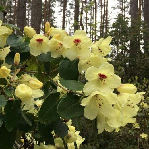 Rhododendron wardii LS&T5679