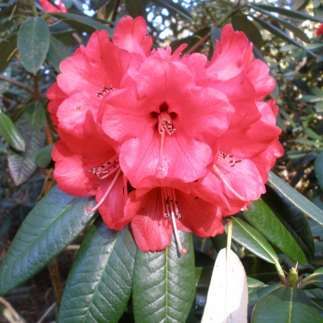 Rhododendron Choremia EX9503 AGM