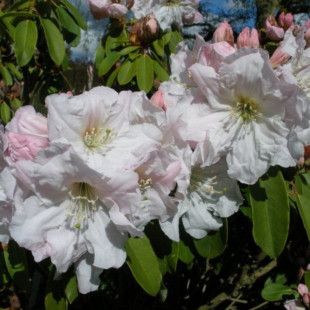 Rhododendron fortunei 'Robert'