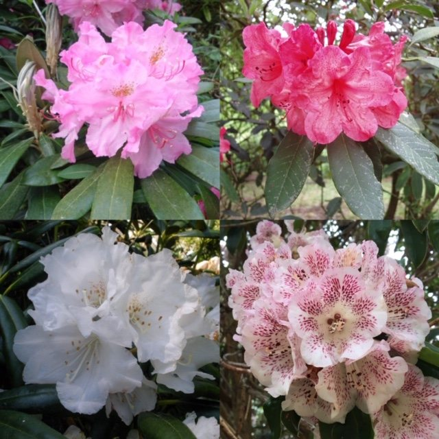 Rhododendron species 'Seconds' (4 x 3 litre plants)