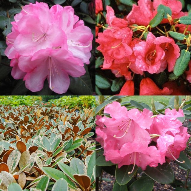Compact Rhodo Collection ( 4 x 7.5 litre plants! )