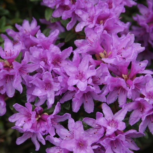 Dwarf Rhododendron Frosthexe