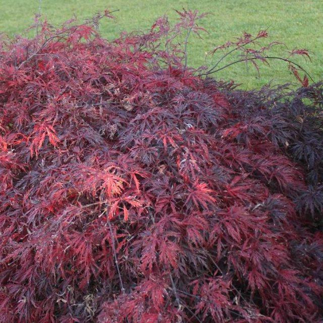 Acer Palmatum Dissectum Atropurpureum Buy Red Lace Leaved Maples