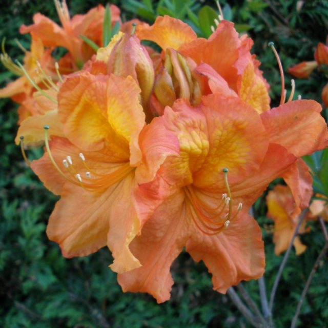 Deciduous Azalea Eternal Flame