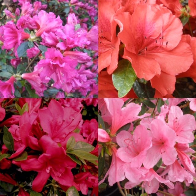 Evergreen Azalea 'Seconds' ( 4x 3 litre plants )