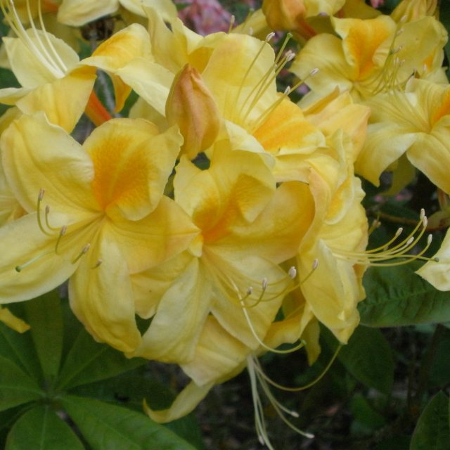 Deciduous Azalea Golden Sunset AGM