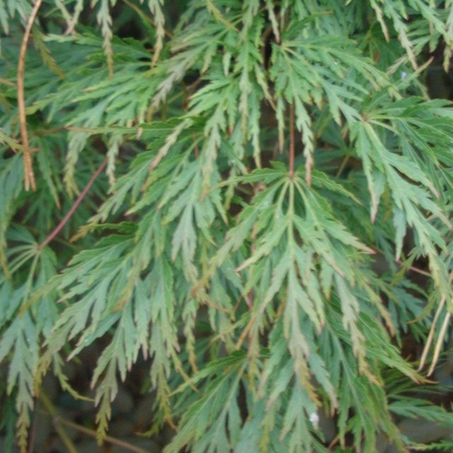 Acer Palmatum Dissectum Seiryu Buy Seiryu Japanese Maples Online