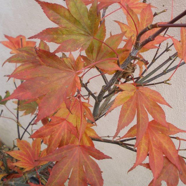 Acer Palmatum Fireglow Buy Fireglow Japanese Maples Online