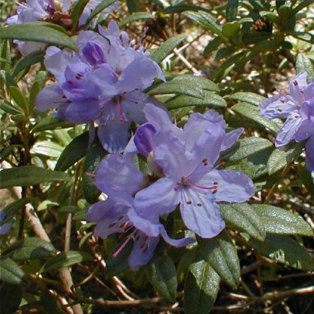 Dwarf Rhododendron hippophaeoides 'Haba Shan'  AGM