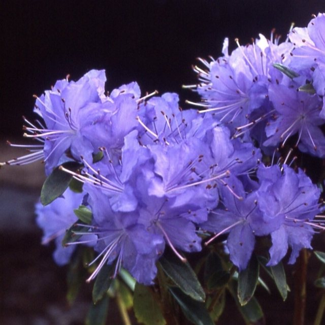 Dwarf Rhododendron Night Sky AGM