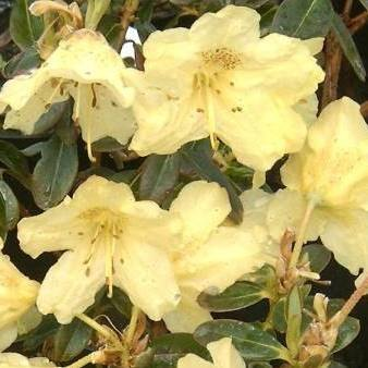 Dwarf Rhododendron Swift AGM