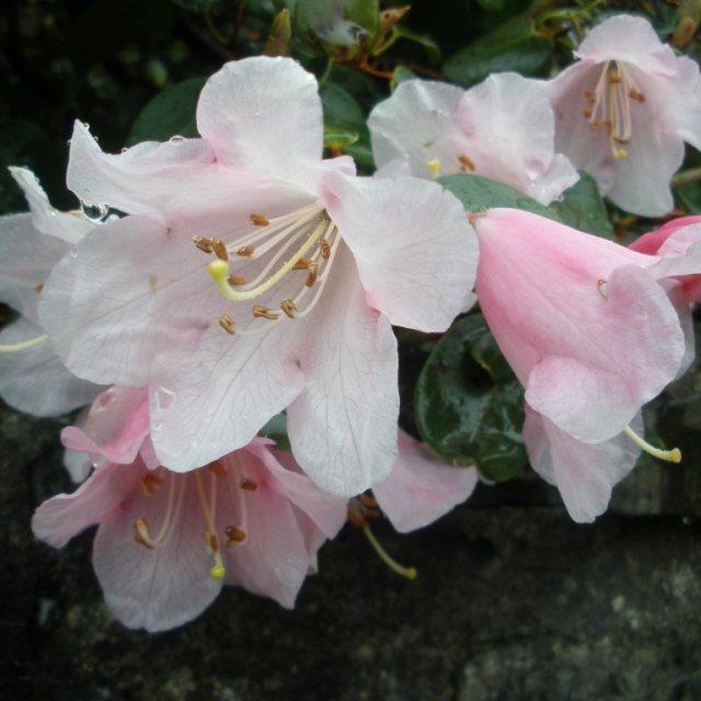 Williamsianum Dwarf Rhododendron Buy Rhododendron Williamsianum