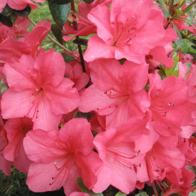 Evergreen Azalea Autumn Glow