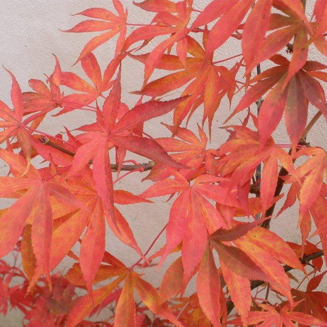 Acer Palmatum Osakazuki Buy Osakazuki Japanese Maples Online