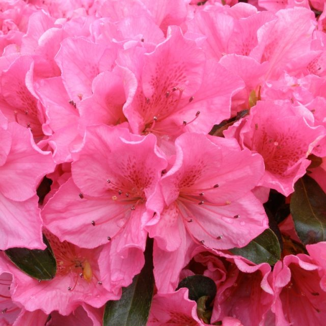 Evergreen Azalea Dearest