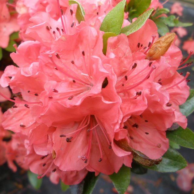 Evergreen Azalea Geisha Orange