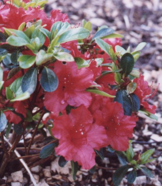 Evergreen Azalea Girard's Hot Shot