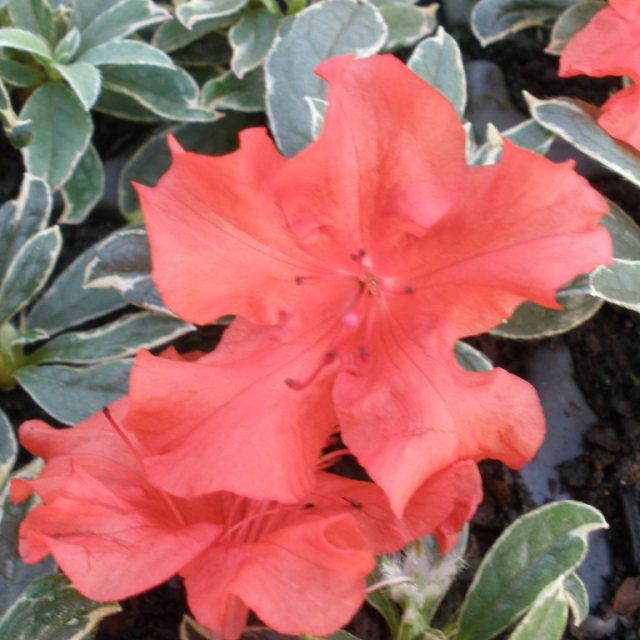 Evergreen Azalea Girard's Hot Shot Variegated AGM