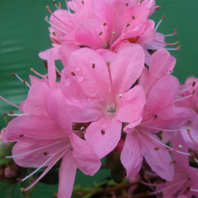 Evergreen Azalea Hinomayo  AGM